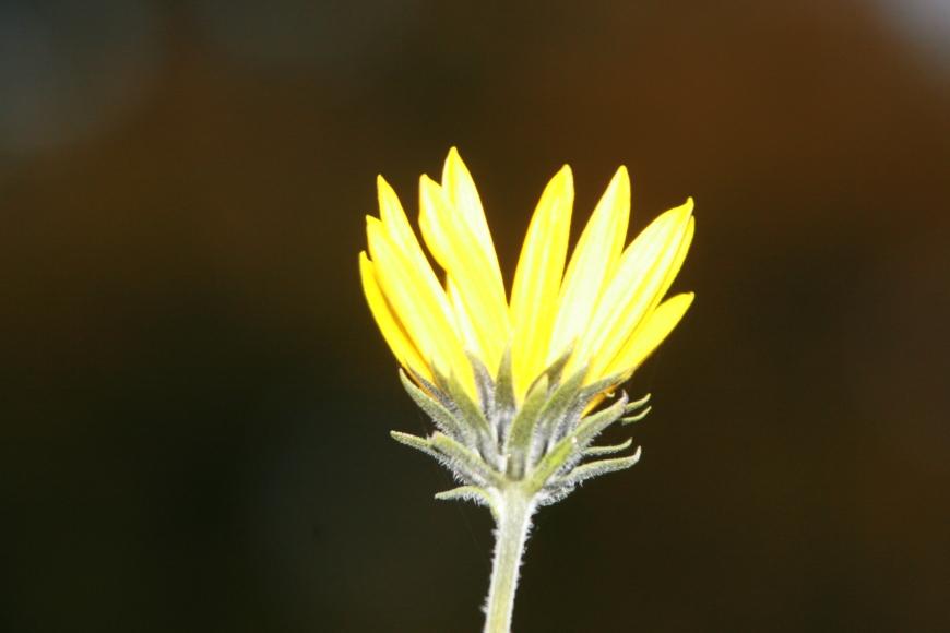 A Jerusalem artichoke flower