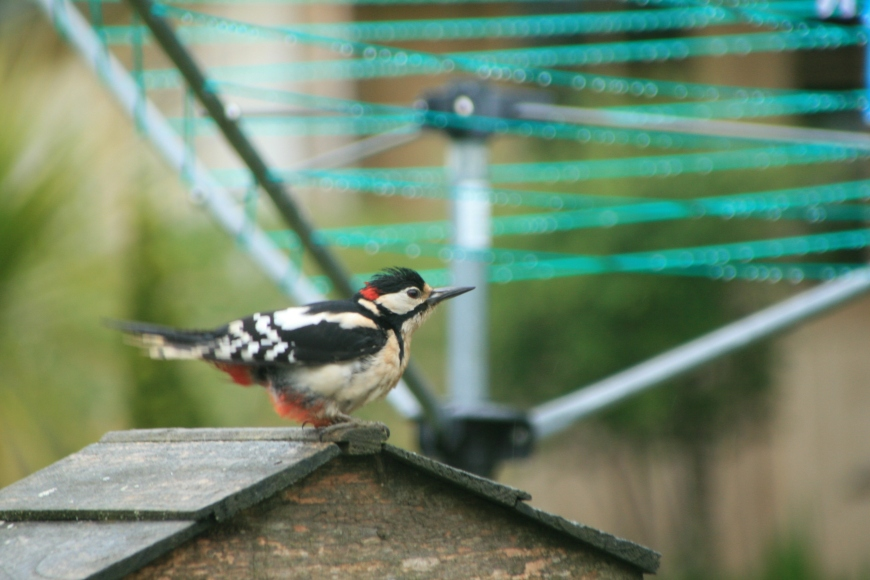 woodpecker's visit in the summer