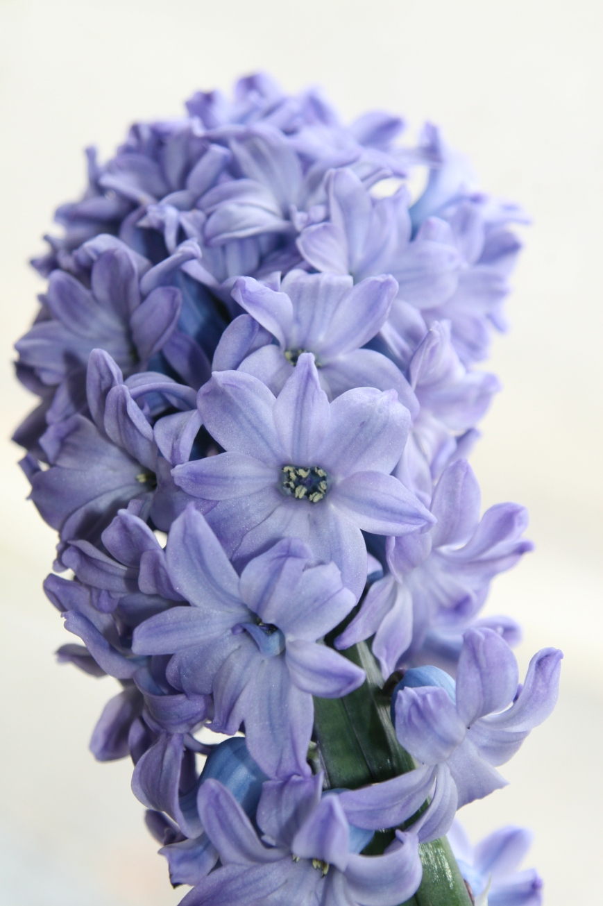 Best buy - 3 Hyacinth bulbs in a pot for £2