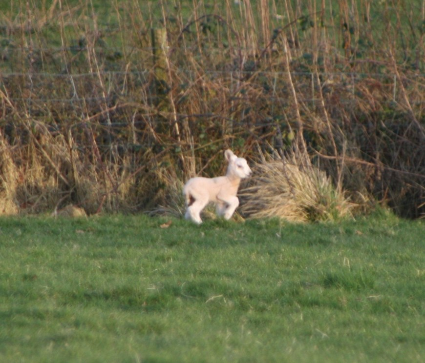 a Spring lamb in a nearby field