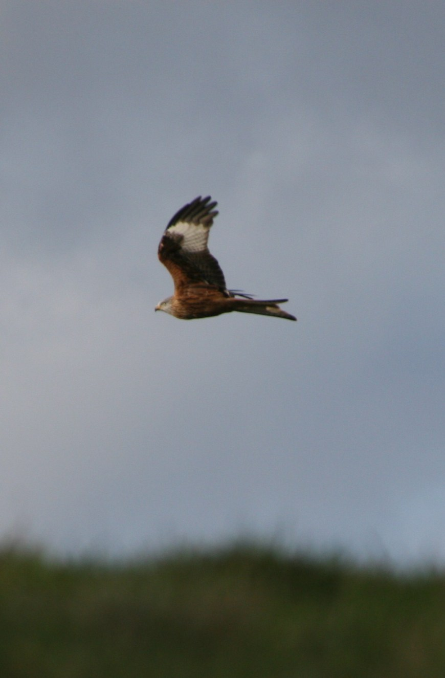 The red kite in flight